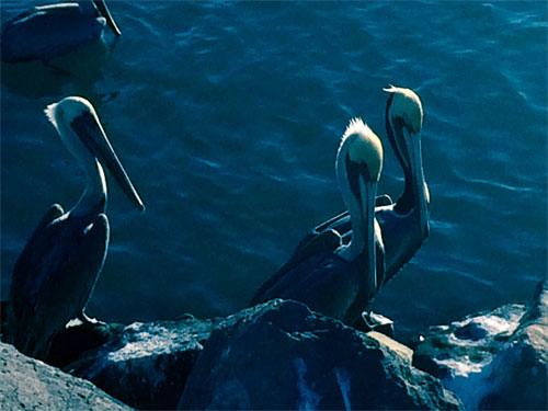 Brown pelicans, Mexico's aerobatic clowns