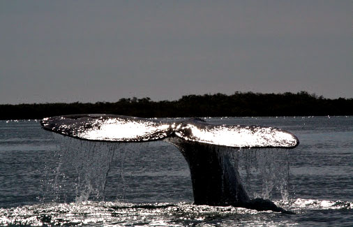Mama whale waving goodbye | Image courtesy ROW Sea Kayaking Adventures