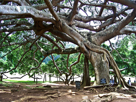 Banyan tree, Botanical Garden   Image courtesy Stockfresh