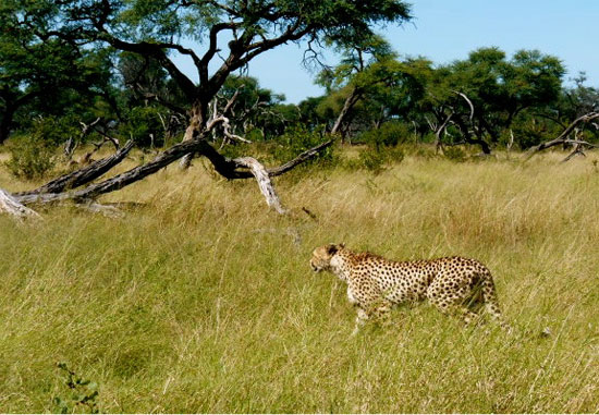 Cheetah looking for her next meal | Photo © Judith Shaw