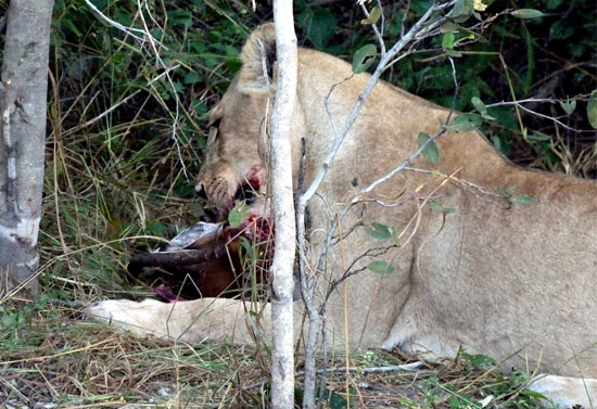 Lioness enjoying her ill-gotten meal | Photo © Judith Shaw