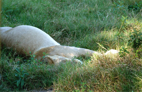 Sated lioness, her belly swollen like a moon | Photo © Judith Shaw