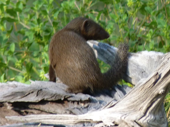Disho whistled this mongoose from his hollow log | Photo © Judith Shaw